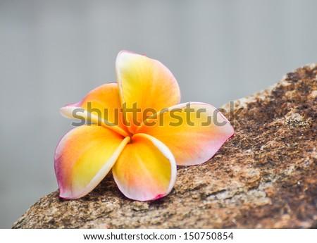 Frangipani, Plumeria blooming.  - stock photo