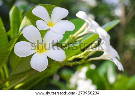 frangipani (plumeria) flower on natural background - shallow dof - stock photo