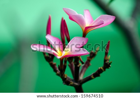 Frangipani (Plumeria rubra), also known as the Hawaiin Lei flower, is native to warm tropical areas of the Pacific Islands, Caribbean, South America and Mexico. - stock photo