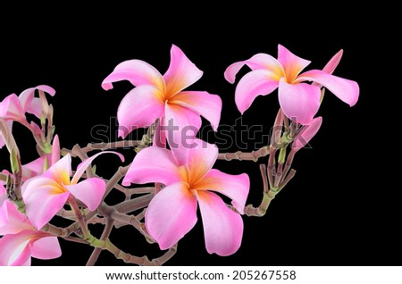 Frangipani, Plumeria, Templetree flowers  - stock photo