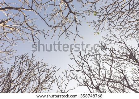 Frangipani tree (Plumeria) against a blue sky ,vintage - stock photo