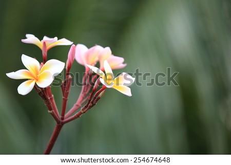 frangipani tree with flowers - stock photo
