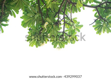 Frangipani trees and branches. Isolated on white background.