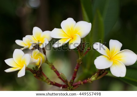 Frangipani trees with intense smelly flowers, also known as Leelawadee, Plumeria or Lantom