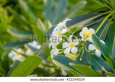 Frangipani tropical plant with delicate white and yellow flowers and large bright green leaves/Frangipani Flowering Plant/Tropical Flora - stock photo