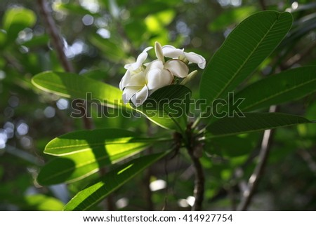 Frangipani tropical plant with delicate white and yellow flowers and large bright green leaves/Frangipani Flowering Plant/Tropical Flora, Chiang Mai, Thailand - stock photo