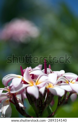 Frangipani Tropical Spa Flower.The beautiful Plumeria flowers close up background. - stock photo