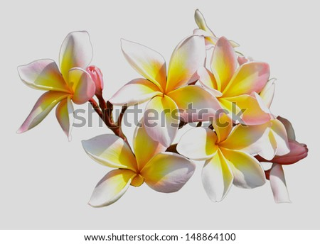 Frangipani, white background
