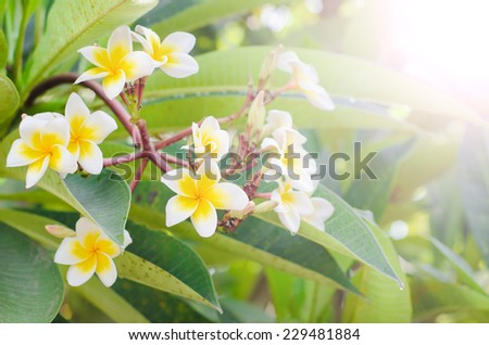 Frangipani white flower blooming with soft light in the morning, Plumeria blooming, Templetree.  - stock photo