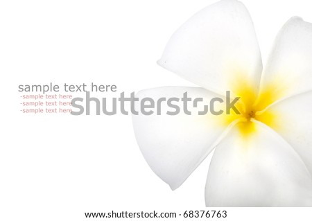 frangipani with isolated white background and copyspace - stock photo