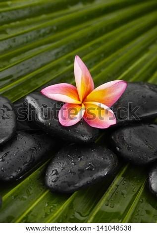 frangipani with wet black spa stones on palm leaf texture - stock photo