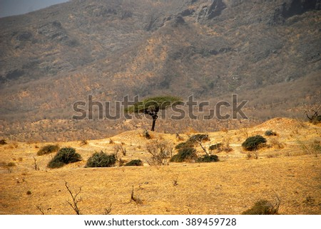 Frankincense tree in Dhofar mountain, Sultanate of Oman, Middle East, Arabian Peninsula, Asia
