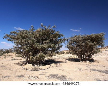 Frankincense trees in Wadi Dawkah, Dhofar governorate, Sultanate of Oman