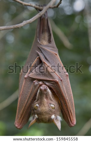 Franquet's epauletted fruit bat (Epomops franqueti) hanging in a tree. - stock photo