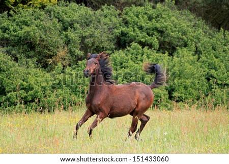 Free arabian horse playing - stock photo