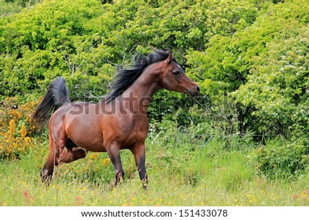 Free arabian horse playing