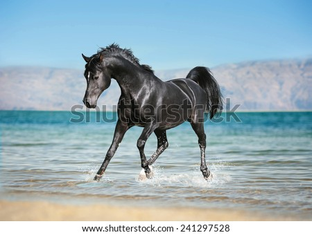 free black arab horse runs trough the splashes of water - stock photo