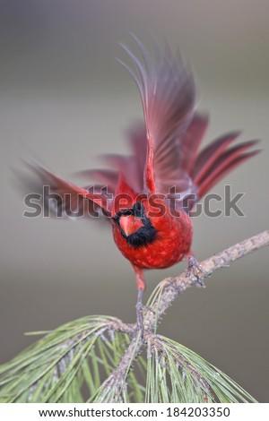 Free Falling Cardinal - stock photo