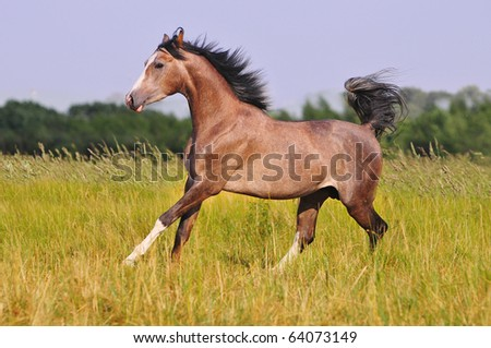 free grey arab horse in summer field