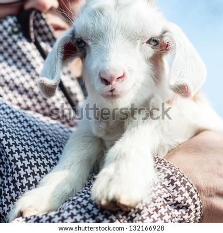 free lamb on the farm in italy - stock photo