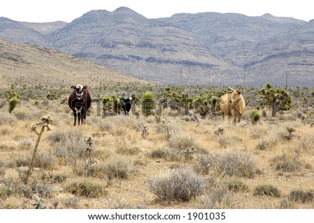 Free Range Cattle in the Nevada Desert