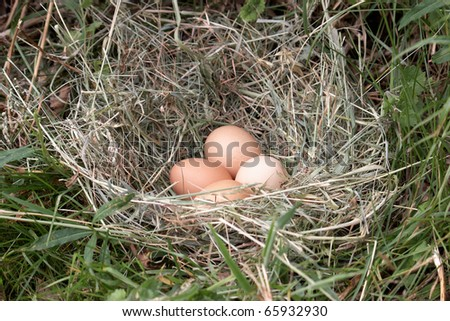 Free range chicken eggs in a nest