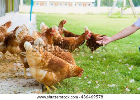Free-range chicken on an organic farm, freely grazing on a meadow. Organic farming, animal rights, back to nature concept. - stock photo