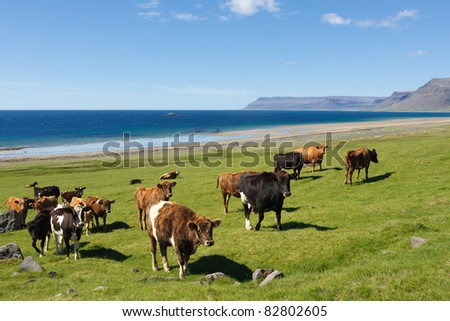 Free range cows in a farm by the Atlantic Ocean in Iceland - stock photo