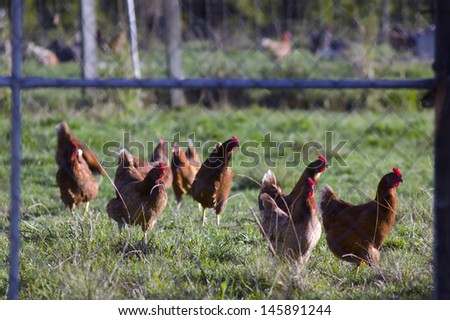 Free range egg-laying hens in a chicken farm. - stock photo