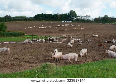 Free range pigs grazing in an organic ecological farm