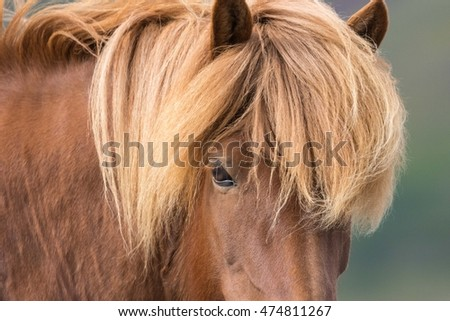 Free roaming icelandic horses in the West Fjords near Reykholt, Iceland