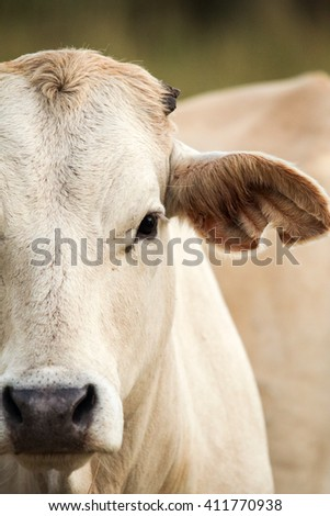 Free roaming white/cream cow portrait from African farm