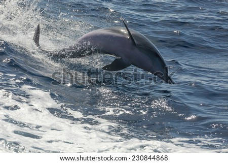 free swimming dolphin (tenerife / spain)