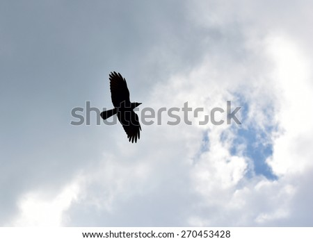 Freedom to travel. Born free. Sky is the limit. Silhouette of a crow (Corvus brachyrhynchos) flying against the bright sky. - stock photo