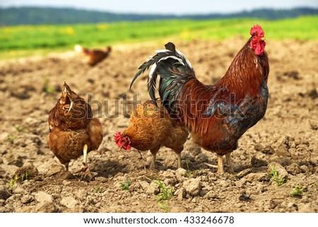 freerange chicken - stock photo
