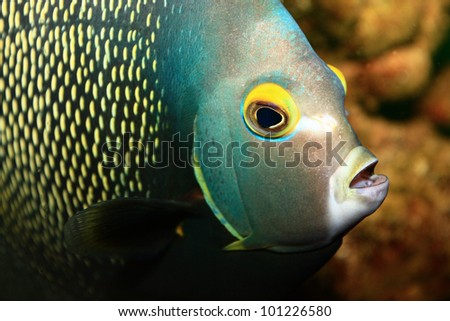 French Angelfish - stock photo