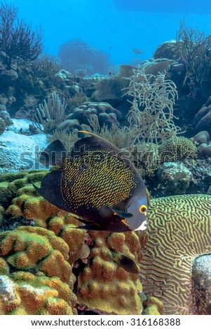 French angelfish, Pomacanthus paru, is a large angelfish of the family Pomacanthidae - stock photo