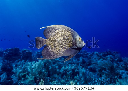 French angelfish, Pomacanthus paru, is a large angelfish of the family Pomacanthidae,  - stock photo