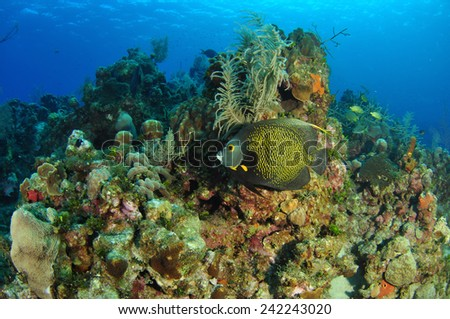 French Angelfish swims through the reef, Grand Cayman - stock photo