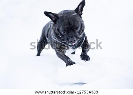 French buldog dog puppet roll white snow  ball - stock photo