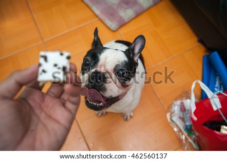French Bull Dog Treats dog looking at hand. /Focus selection