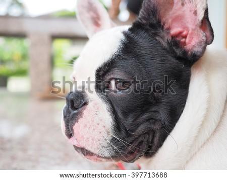 French bulldog  - stock photo