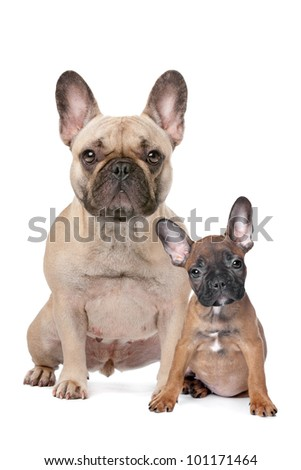 French Bulldog adult and puppy in front of a white background - stock photo