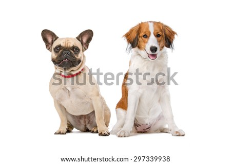 French Bulldog and a Kooiker Dog in front of a white background - stock photo