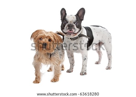 French Bulldog and a Yorkshire Terrier isolated on white