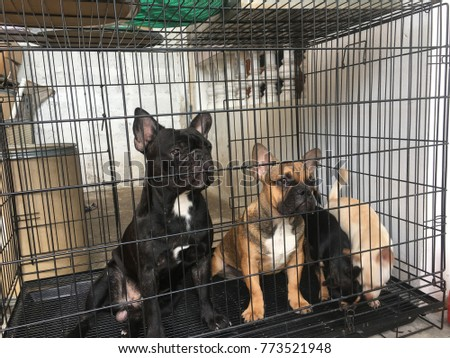 French bulldog and Chihuahua dog stay still and calm in the cage, wait for candy, cute dog.
