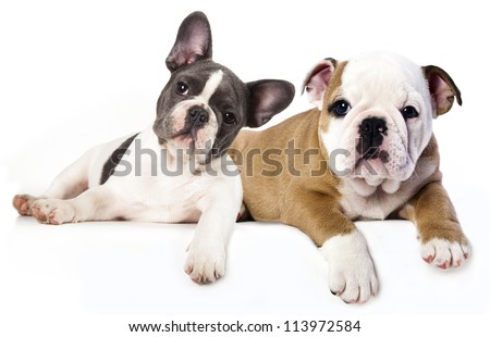 French Bulldog and english Bulldog puppy - stock photo