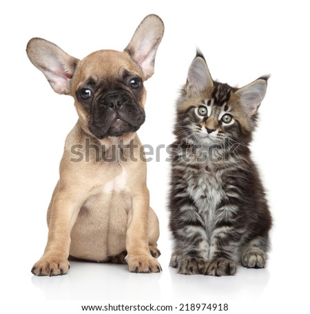 French bulldog and kitten posing together on white background - stock photo