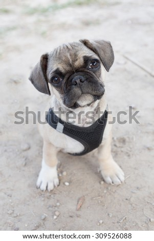 French bulldog and pug mixed breed puppy looking curiously at the camera - stock photo