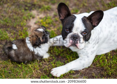 French bulldog and shih tzu puppy playing in the garden